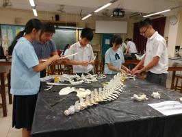 中四同學為海豚骨骼排序